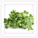 Watercress Leaves/Shoots